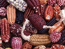 800px-Peruvian_corn