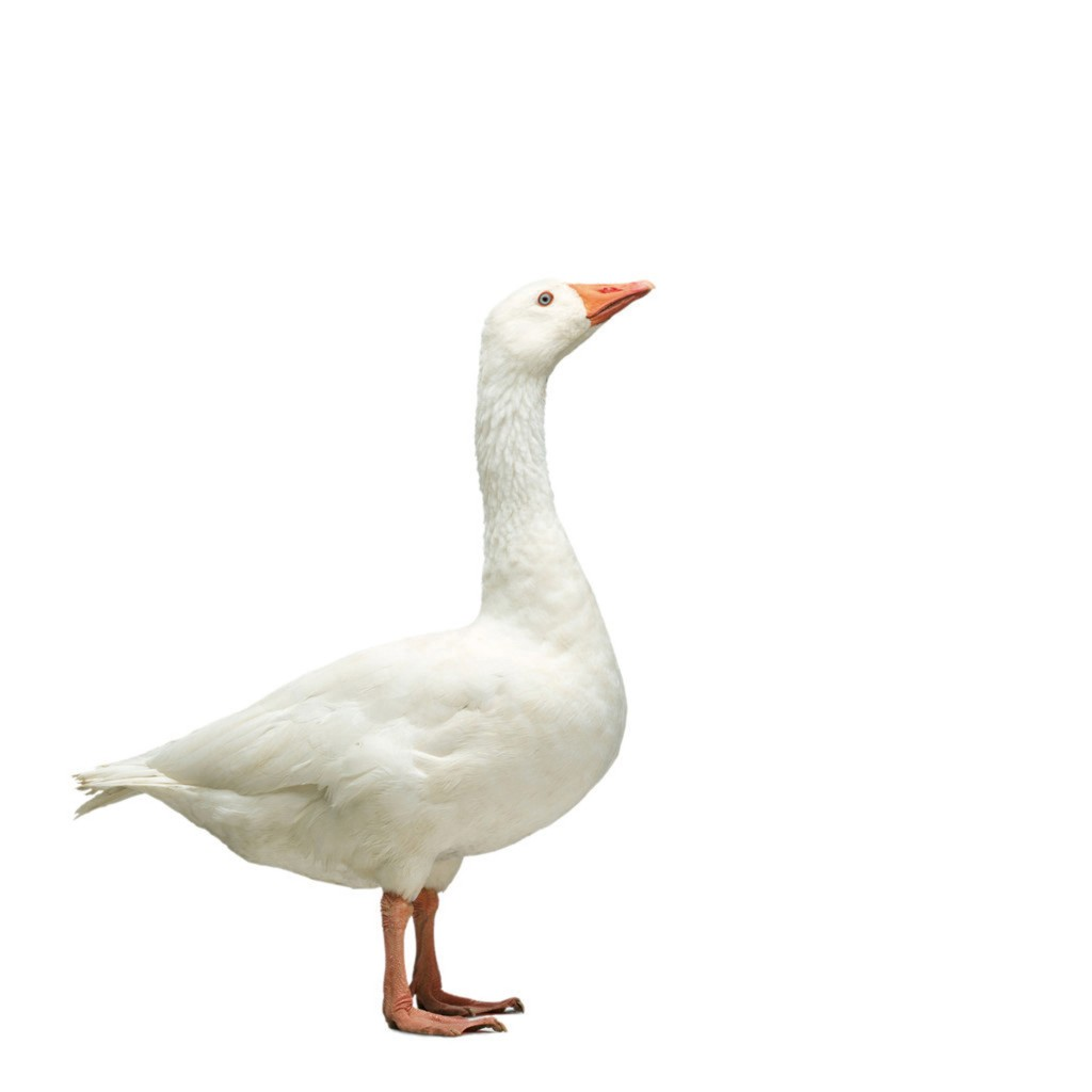 Domestic Goose --- Image by ゥ Bob Elsdale/Corbis